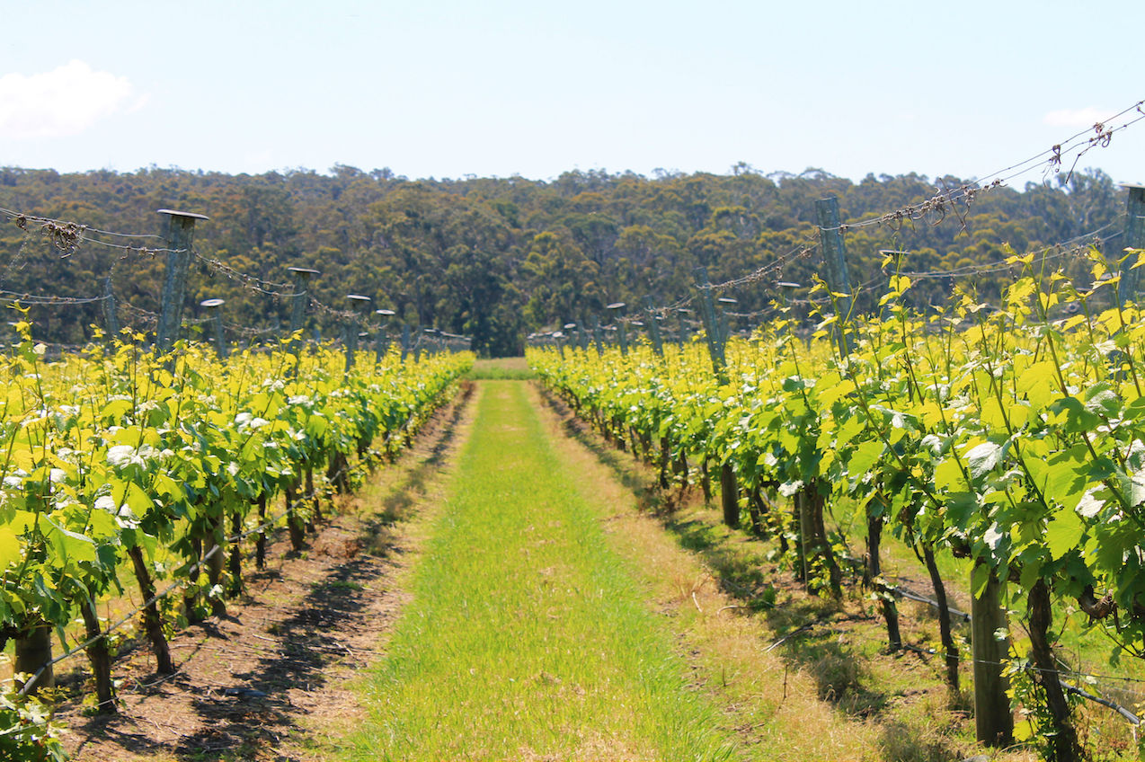 Narkoojee-wines-vineyard-trellis-view-to-trees-Glengarry-Traralgon-Latrobe-Gippsland